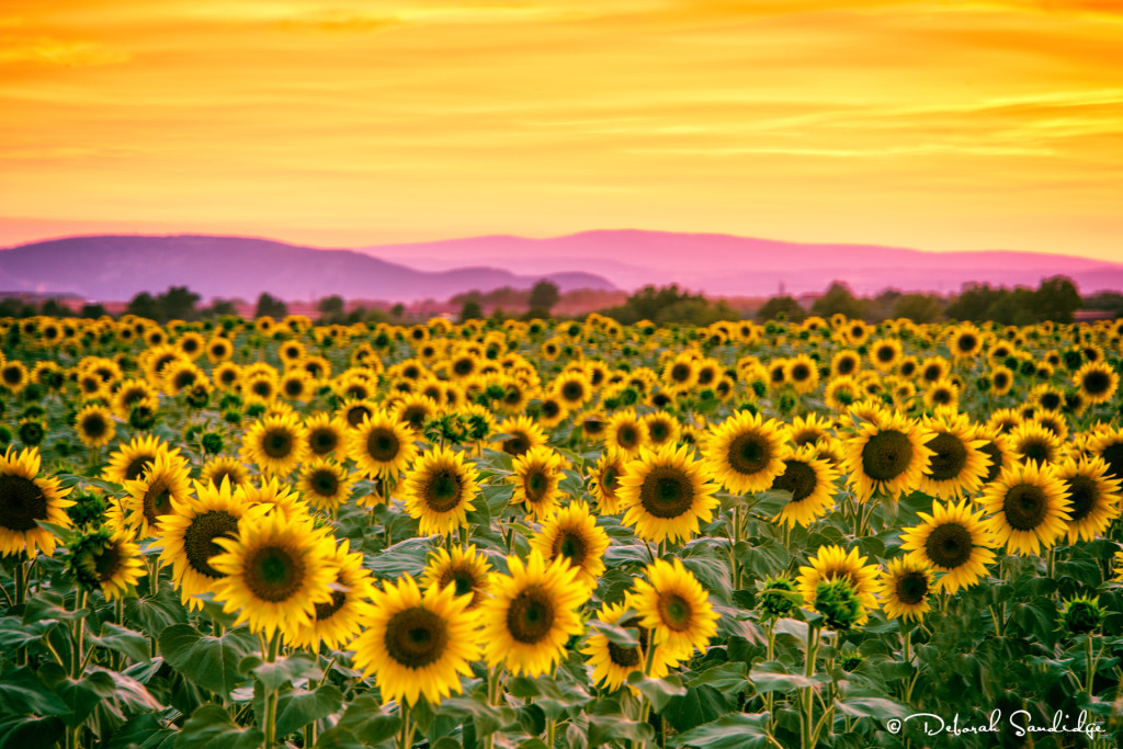 Sunflowers Valensole
